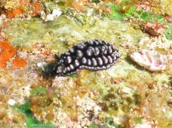 BD-070402-Similan--Phyllidiella-pustulosa-(Cuvier.-1804)-[Pustulose-phyllidiella].jpg